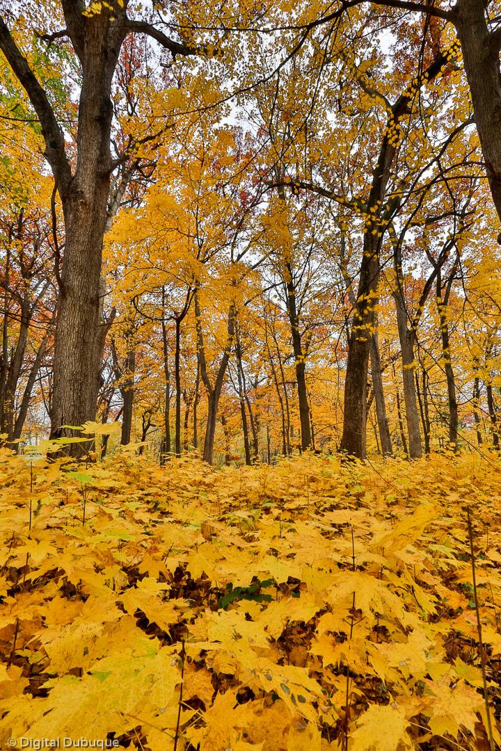 Autumn walk through the maples
